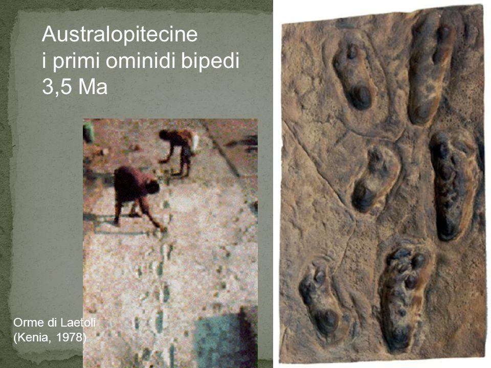 Orme di Laetoli (Kenia, 1978) Australopitecine i primi ominidi bipedi 3,5 Ma