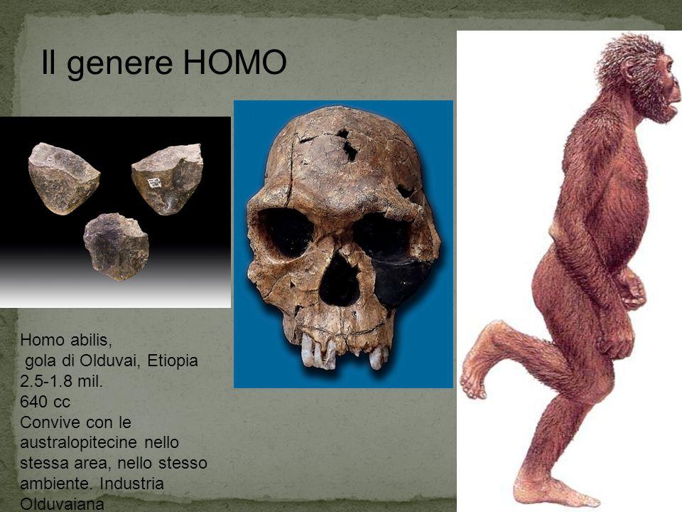 Homo abilis, gola di Olduvai, Etiopia 2.5-1.8 mil. 640 cc Convive con le australopitecine nello stessa area, nello stesso ambiente. Industria Olduvaia