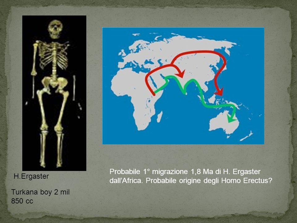 Turkana boy 2 mil 850 cc H.Ergaster Probabile 1° migrazione 1,8 Ma di H. Ergaster dall'Africa. Probabile origine degli Homo Erectus?