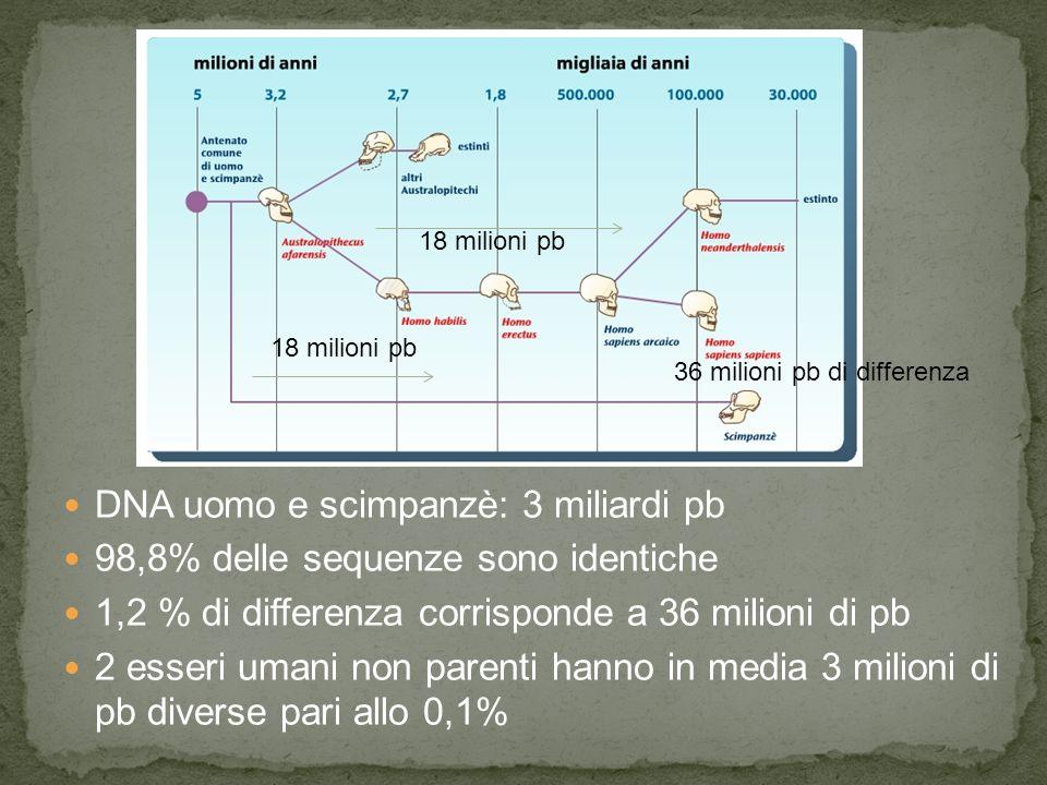 DNA uomo e scimpanzè: 3 miliardi pb 98,8% delle sequenze sono identiche 1,2 % di differenza corrisponde a 36 milioni di pb 2 esseri umani non parenti