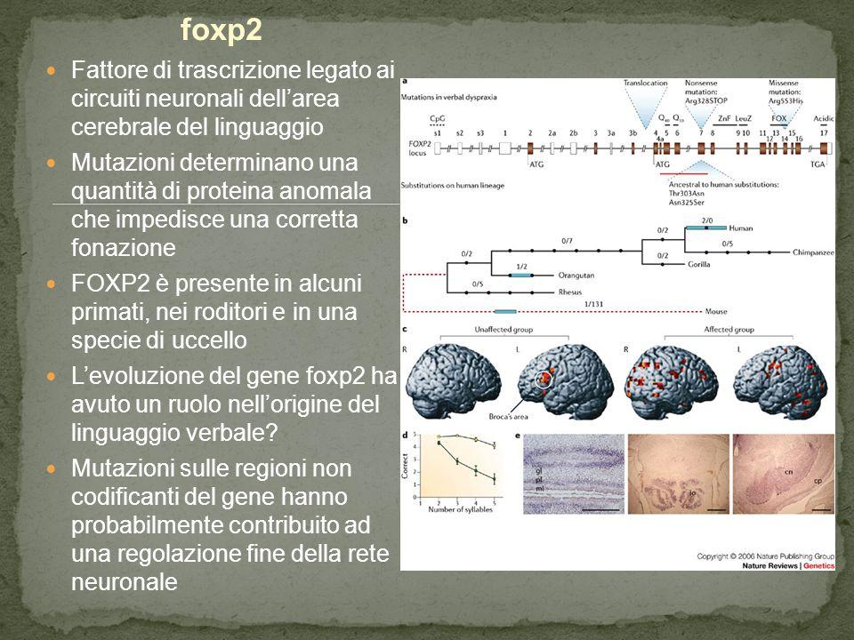 foxp2 Fattore di trascrizione legato ai circuiti neuronali dell'area cerebrale del linguaggio Mutazioni determinano una quantità di proteina anomala c