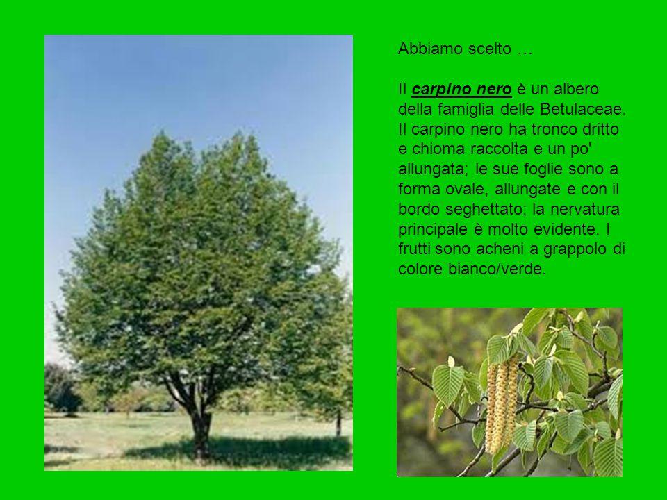 Abbiamo scelto … Il carpino nero è un albero della famiglia delle Betulaceae. Il carpino nero ha tronco dritto e chioma raccolta e un po' allungata; l