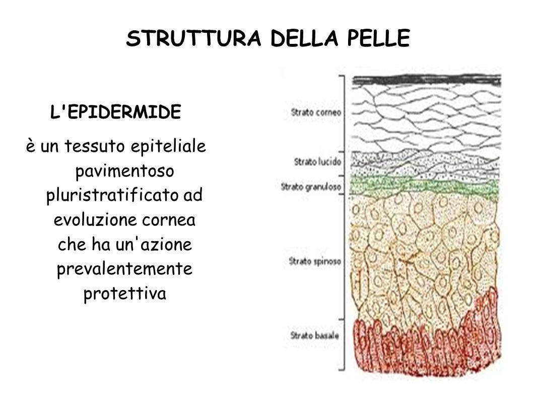 STRUTTURA DELLA PELLE L'EPIDERMIDE è un tessuto epiteliale pavimentoso pluristratificato ad evoluzione cornea che ha un'azione prevalentemente protett