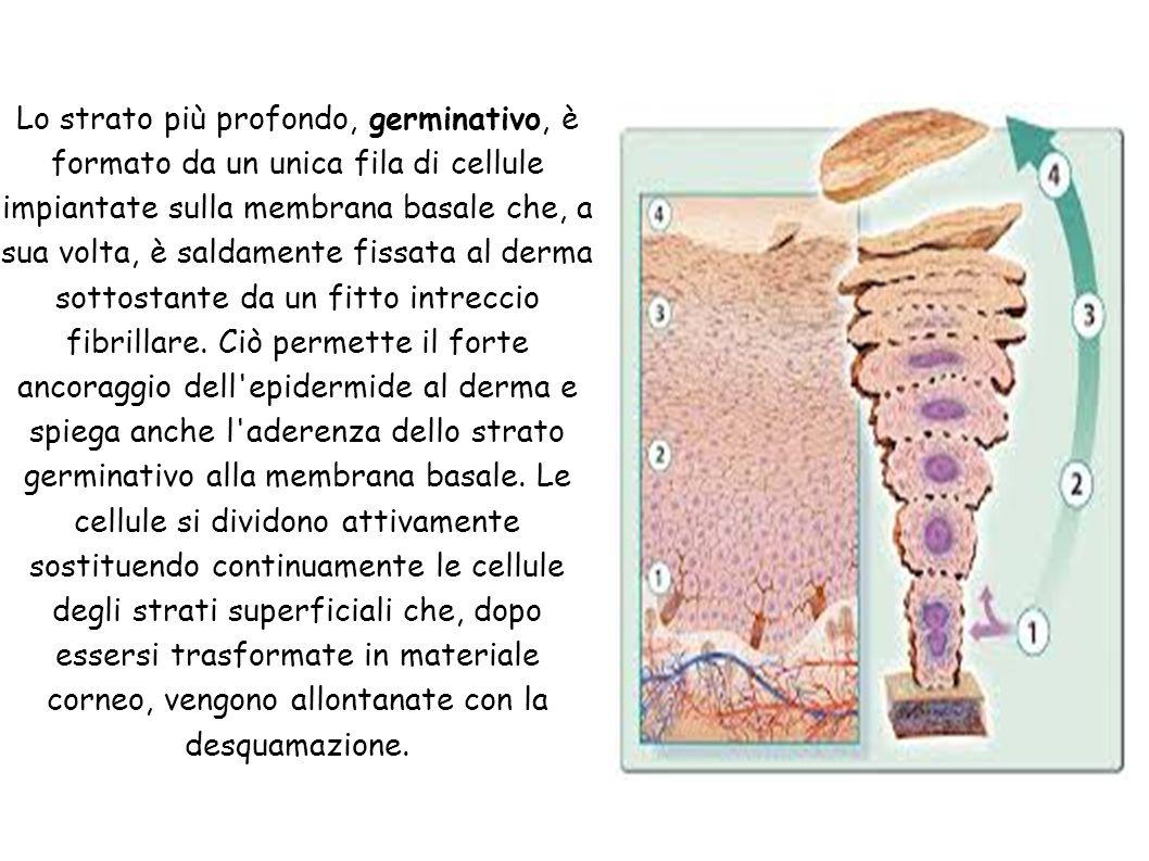 Lo strato più profondo, germinativo, è formato da un unica fila di cellule impiantate sulla membrana basale che, a sua volta, è saldamente fissata al