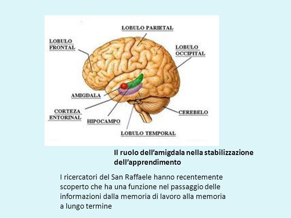 Il ruolo dell'amigdala nella stabilizzazione dell'apprendimento I ricercatori del San Raffaele hanno recentemente scoperto che ha una funzione nel passaggio delle informazioni dalla memoria di lavoro alla memoria a lungo termine