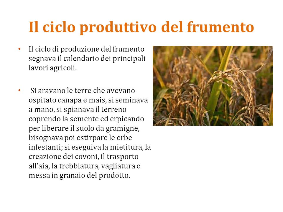 Il ciclo produttivo del frumento Il ciclo di produzione del frumento segnava il calendario dei principali lavori agricoli. Si aravano le terre che ave