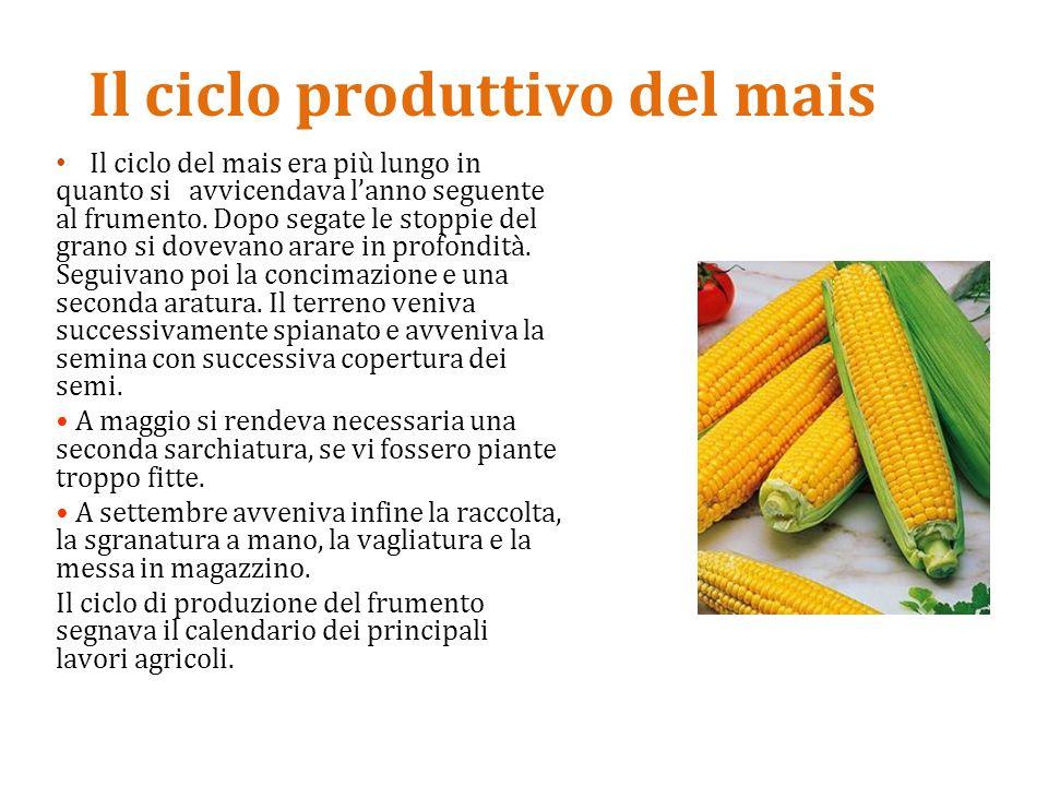 Il ciclo produttivo del mais Il ciclo del mais era più lungo in quanto si avvicendava l'anno seguente al frumento. Dopo segate le stoppie del grano si