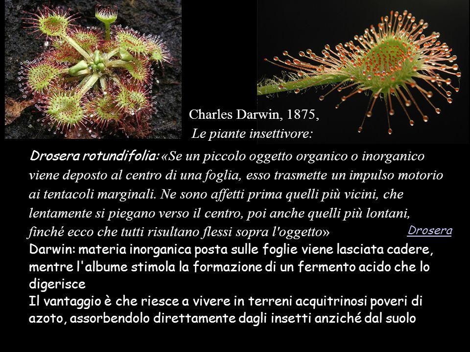 Charles Darwin, 1875, Le piante insettivore: Drosera rotundifolia: «Se un piccolo oggetto organico o inorganico viene deposto al centro di una foglia,