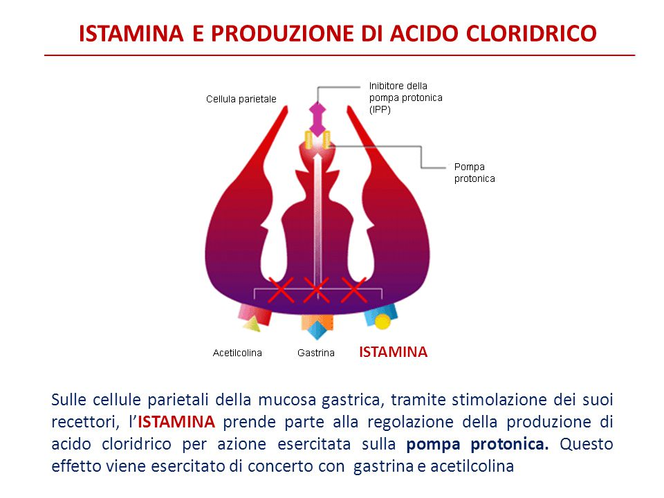 ISTAMINA E PRODUZIONE DI ACIDO CLORIDRICO Sulle cellule parietali della mucosa gastrica, tramite stimolazione dei suoi recettori, l'ISTAMINA prende pa