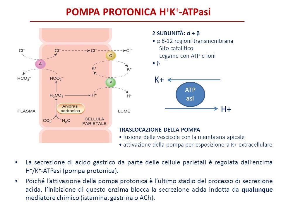 POMPA PROTONICA H + K + -ATPasi 2 SUBUNITÀ: α + β α 8-12 regioni transmembrana Sito catalitico Legame con ATP e ioni β K+ H+ ATP asi TRASLOCAZIONE DEL