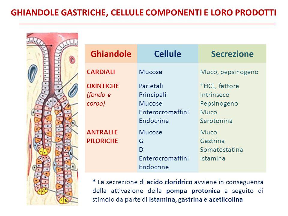 GhiandoleCelluleSecrezione CARDIALIMucoseMuco, pepsinogeno OXINTICHE (fondo e corpo) Parietali Principali Mucose Enterocromaffini Endocrine *HCL, fatt