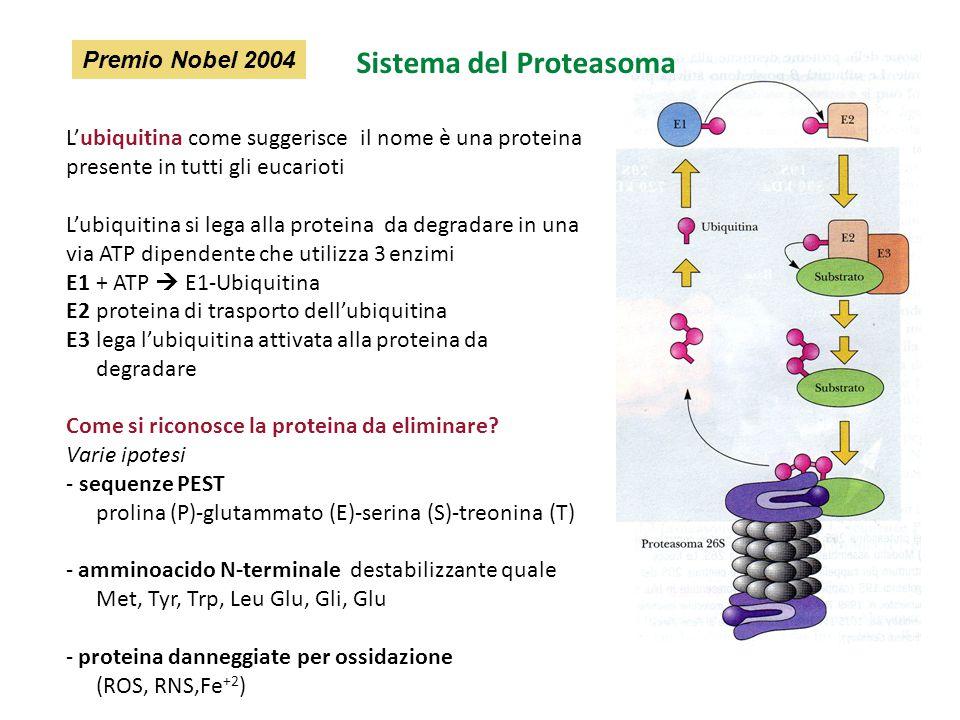 L'ubiquitina come suggerisce il nome è una proteina presente in tutti gli eucarioti L'ubiquitina si lega alla proteina da degradare in una via ATP dip