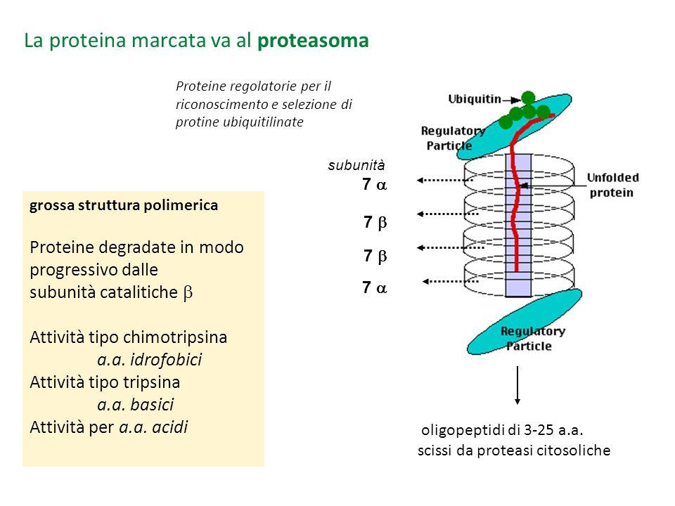 oligopeptidi di 3-25 a.a. scissi da proteasi citosoliche La proteina marcata va al proteasoma grossa struttura polimerica Proteine degradate in modo p