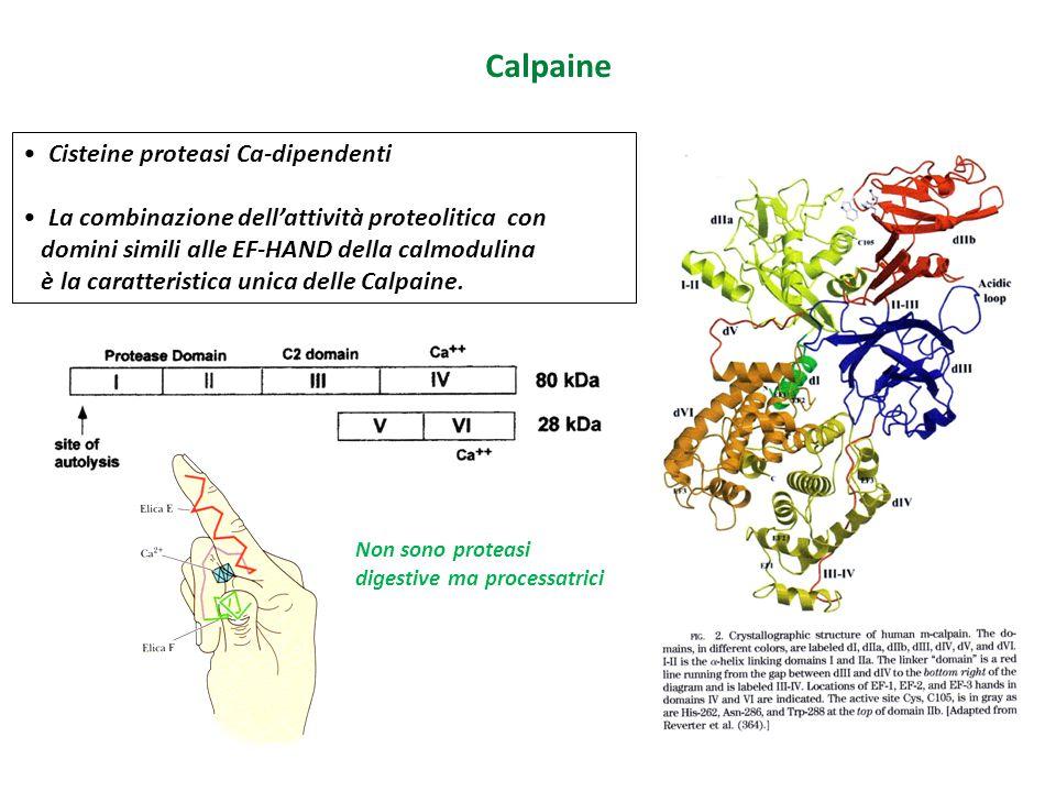 Cisteine proteasi Ca-dipendenti La combinazione dell'attività proteolitica con domini simili alle EF-HAND della calmodulina è la caratteristica unica