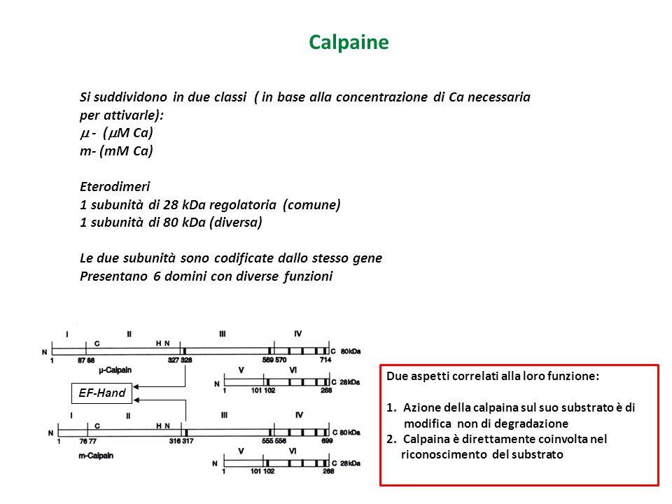 Calpaine Si suddividono in due classi ( in base alla concentrazione di Ca necessaria per attivarle):  - (  M Ca) m- (mM Ca) Eterodimeri 1 subunità d