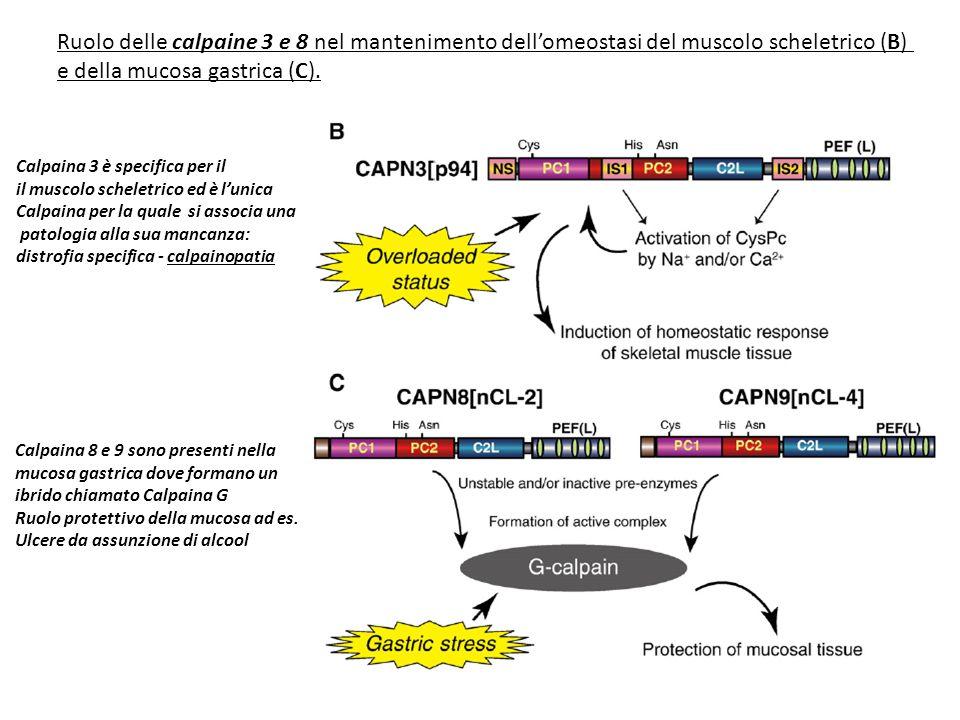 Ruolo delle calpaine 3 e 8 nel mantenimento dell'omeostasi del muscolo scheletrico (B) e della mucosa gastrica (C). Calpaina 3 è specifica per il il m