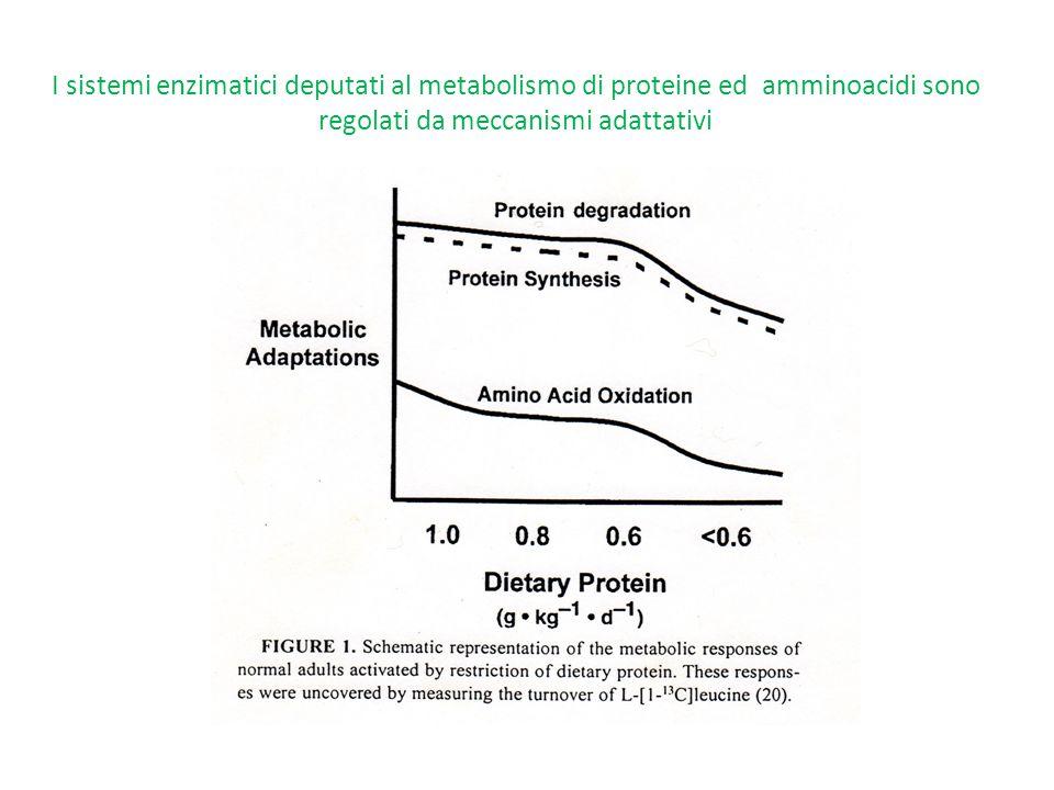 I sistemi enzimatici deputati al metabolismo di proteine ed amminoacidi sono regolati da meccanismi adattativi