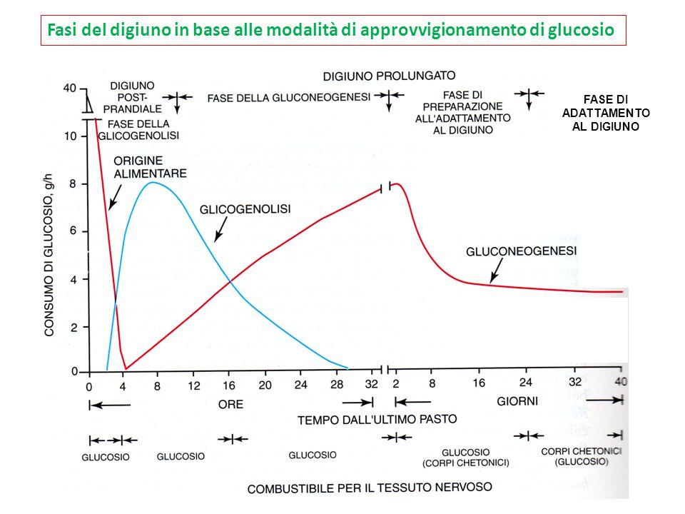FASE DI ADATTAMENTO AL DIGIUNO Fasi del digiuno in base alle modalità di approvvigionamento di glucosio