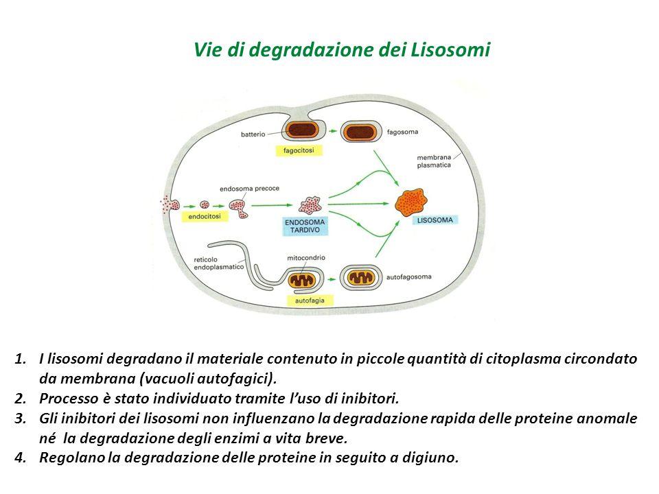 Vie di degradazione dei Lisosomi 1.I lisosomi degradano il materiale contenuto in piccole quantità di citoplasma circondato da membrana (vacuoli autof