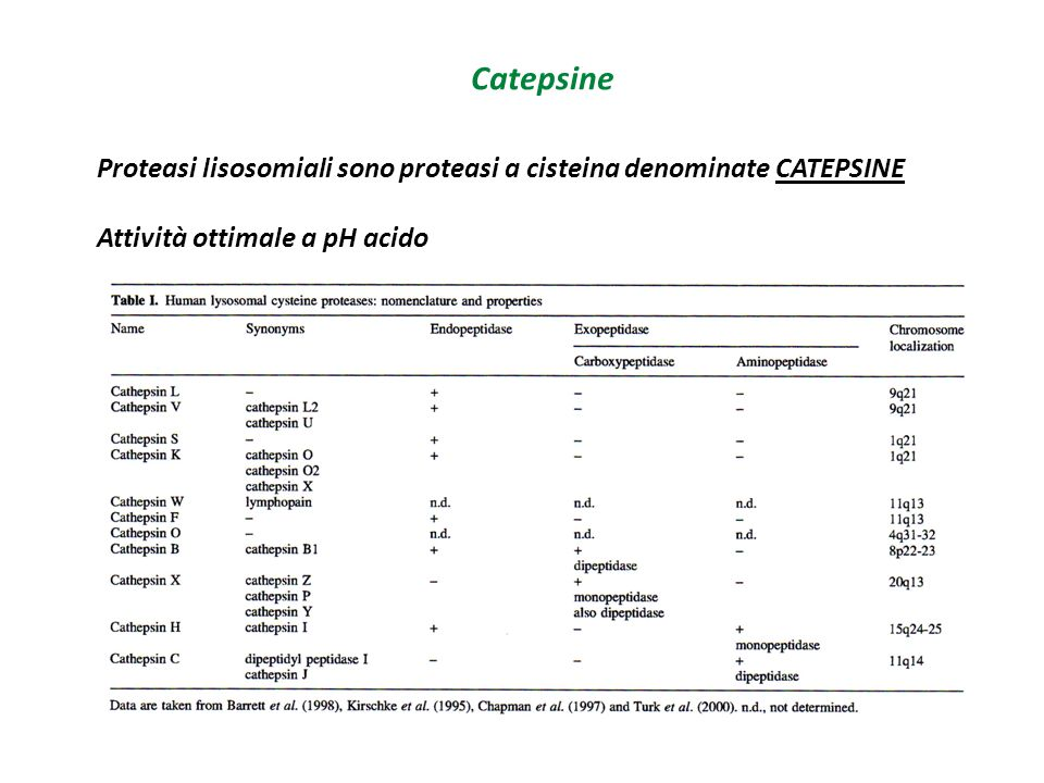 Catepsine Catepsina L Struttura Ponte disolfuro lega una catena pesante ad una catena leggera Enzimi sono monomerici con un peso molecolare  30 kDa Eccezione la Catepsina C che è tetramerica