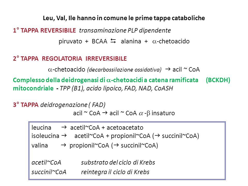 Leu, Val, Ile hanno in comune le prime tappe cataboliche 1° TAPPA REVERSIBILE transaminazione PLP dipendente piruvato + BCAA  alanina +  -chetoacido