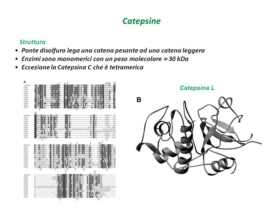 Catepsine Catepsina L Struttura Ponte disolfuro lega una catena pesante ad una catena leggera Enzimi sono monomerici con un peso molecolare  30 kDa E