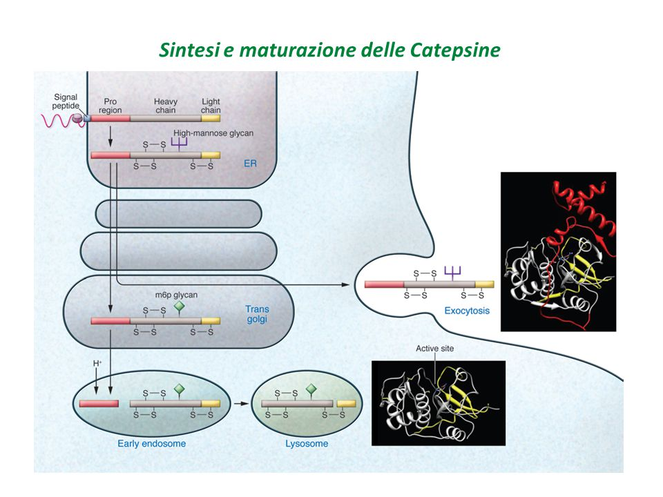 Regolazione Attivazione degli zimogeni Inibizione da proteine endogene Sintetizzate come precursori inattivi vengono attivate dalla rimozione proteolitica alla regione N-terminale Attivazione mediata da altre proteasi Auto attivazione a pH acido