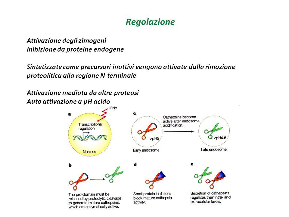 L'ubiquitina come suggerisce il nome è una proteina presente in tutti gli eucarioti L'ubiquitina si lega alla proteina da degradare in una via ATP dipendente che utilizza 3 enzimi E1 + ATP  E1-Ubiquitina E2 proteina di trasporto dell'ubiquitina E3 lega l'ubiquitina attivata alla proteina da degradare Come si riconosce la proteina da eliminare.