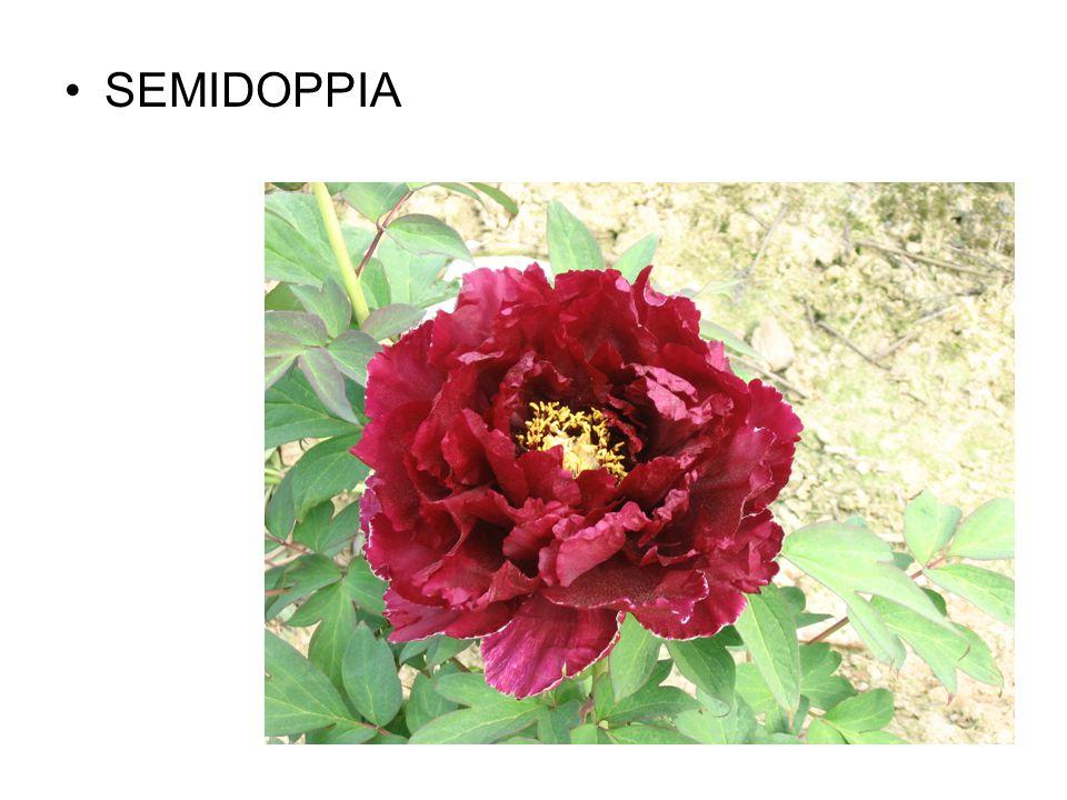 SEMIDOPPIA