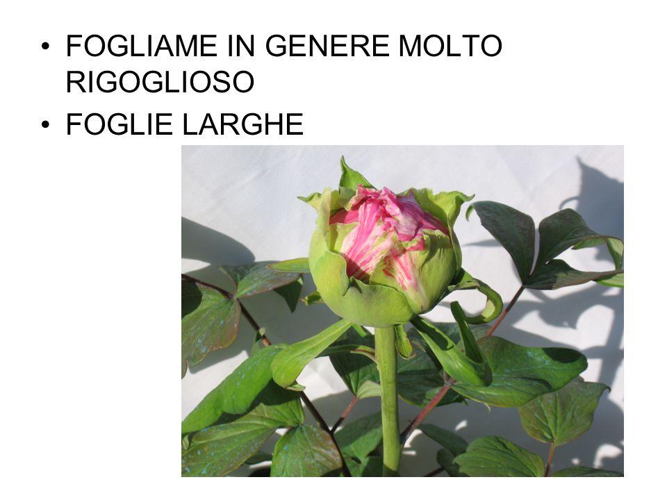FOGLIAME IN GENERE MOLTO RIGOGLIOSO FOGLIE LARGHE