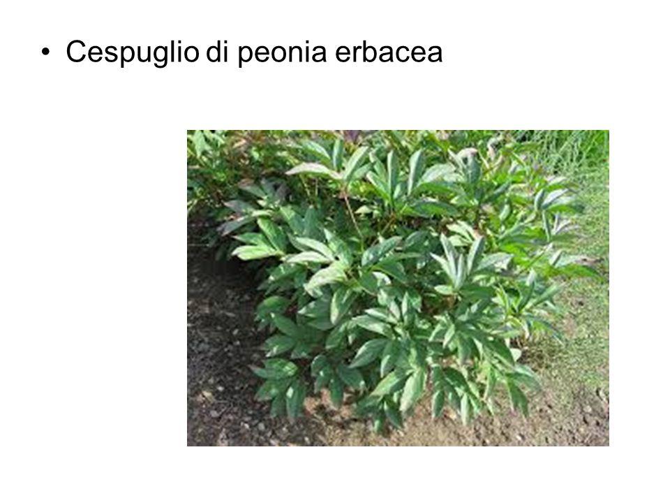 Cespuglio di peonia erbacea