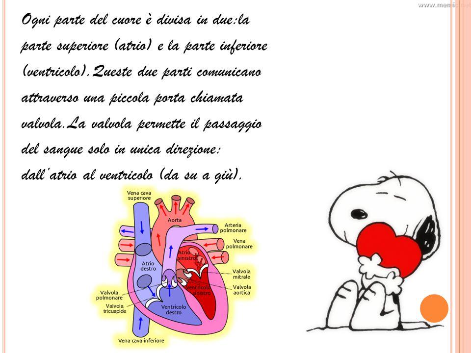 Ogni parte del cuore è divisa in due:la parte superiore (atrio) e la parte inferiore (ventricolo).Queste due parti comunicano attraverso una piccola porta chiamata valvola.La valvola permette il passaggio del sangue solo in unica direzione: dall'atrio al ventricolo (da su a giù).
