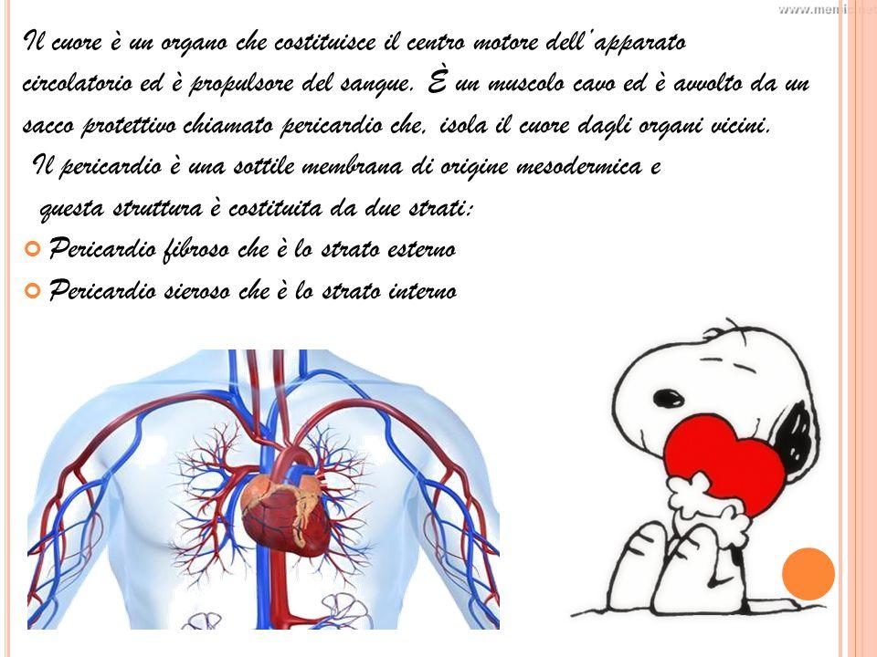 Il cuore è un organo che costituisce il centro motore dell'apparato circolatorio ed è propulsore del sangue.