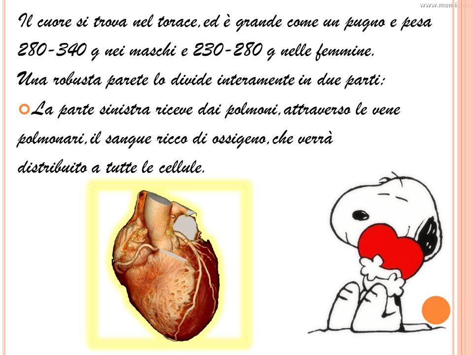 Il cuore si trova nel torace,ed è grande come un pugno e pesa 280-340 g nei maschi e 230-280 g nelle femmine.