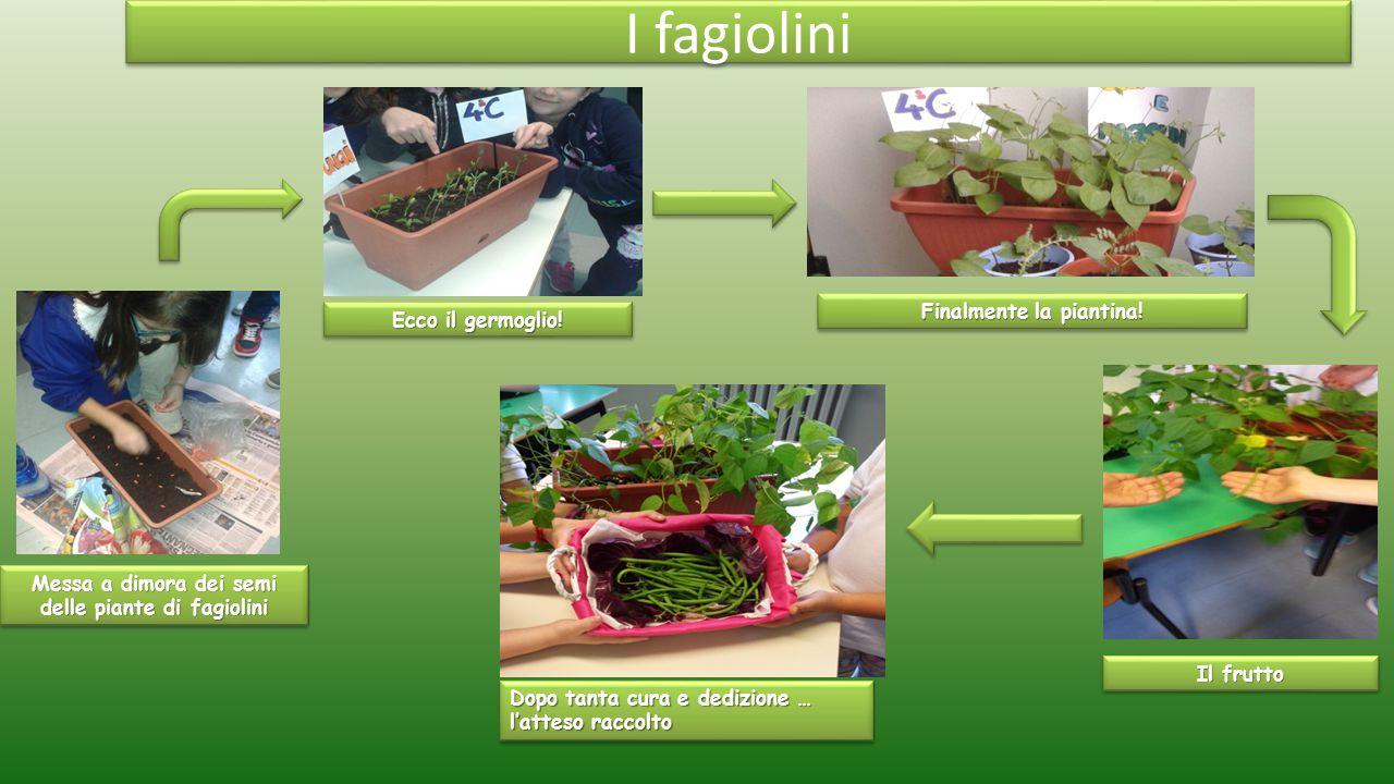 Messa a dimora dei semi delle piante di fagiolini Ecco il germoglio! Finalmente la piantina! Dopo tanta cura e dedizione … l'atteso raccolto I fagioli