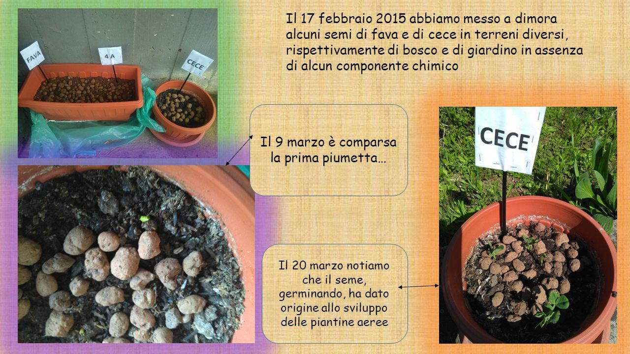 Il 17 febbraio 2015 abbiamo messo a dimora alcuni semi di fava e di cece in terreni diversi, rispettivamente di bosco e di giardino in assenza di alcu