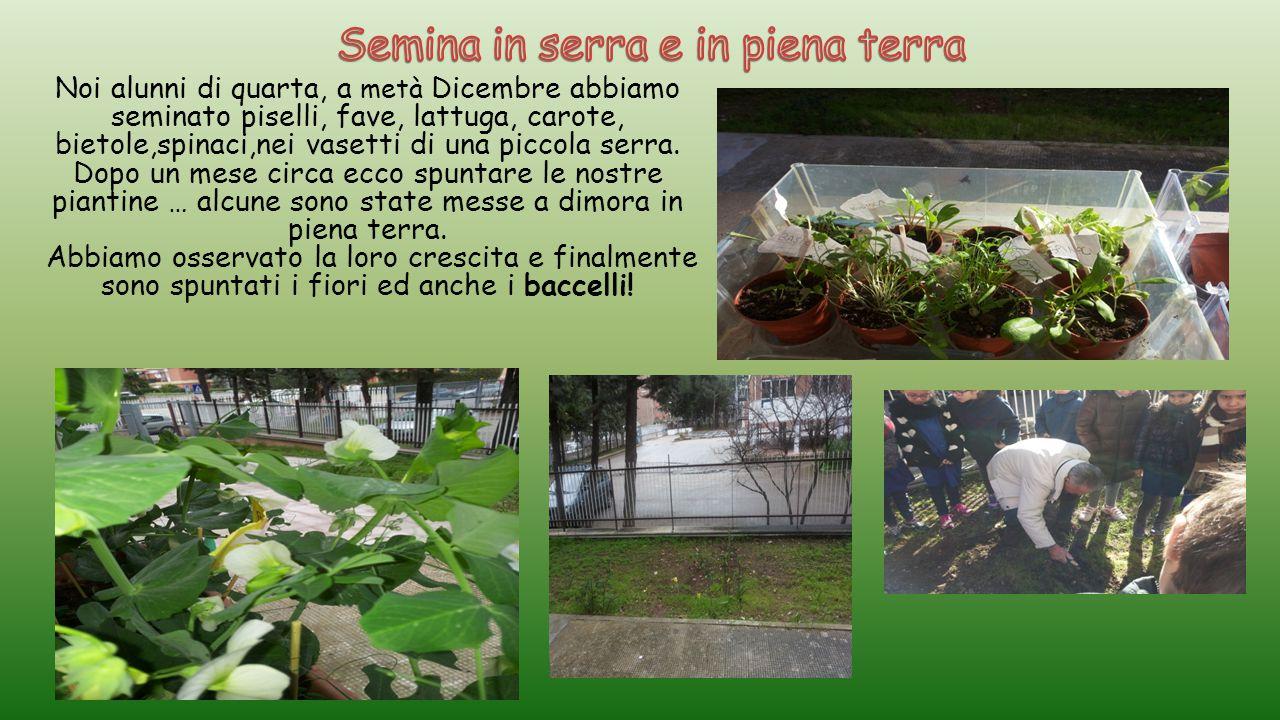 Noi alunni di quarta, a metà Dicembre abbiamo seminato piselli, fave, lattuga, carote, bietole,spinaci,nei vasetti di una piccola serra. Dopo un mese