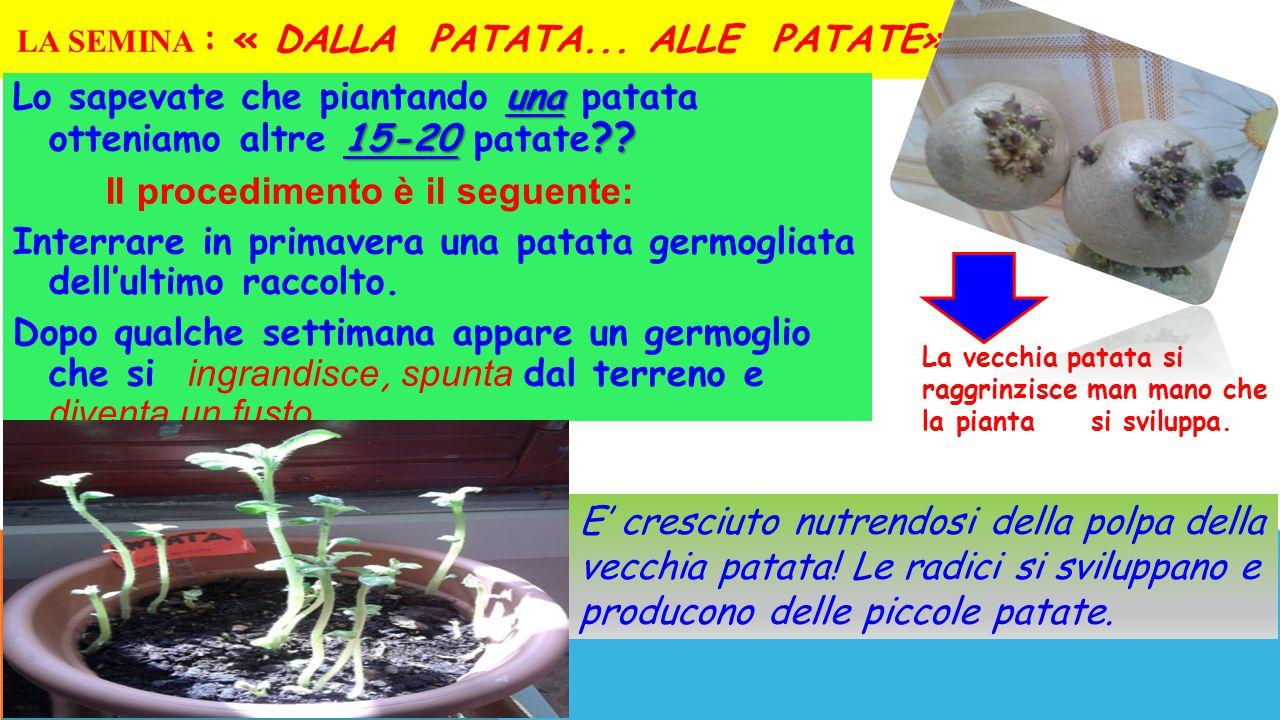 LA SEMINA : « DALLA PATATA... ALLE PATATE» una 15-20 ?? Lo sapevate che piantando una patata otteniamo altre 15-20 patate ?? Il procedimento è il segu