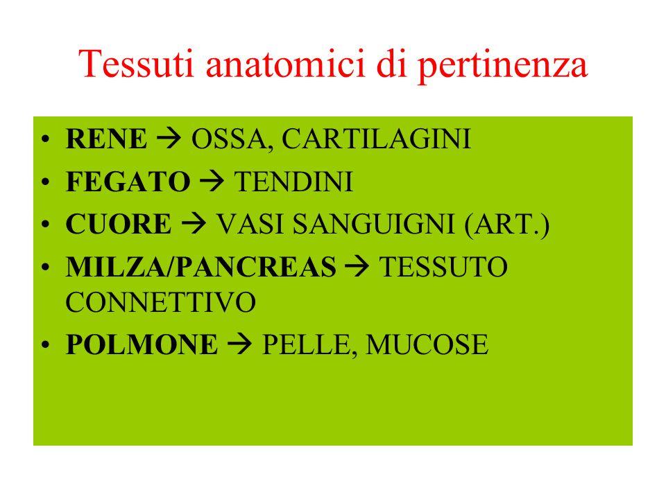 Tessuti anatomici di pertinenza RENE  OSSA, CARTILAGINI FEGATO  TENDINI CUORE  VASI SANGUIGNI (ART.) MILZA/PANCREAS  TESSUTO CONNETTIVO POLMONE 