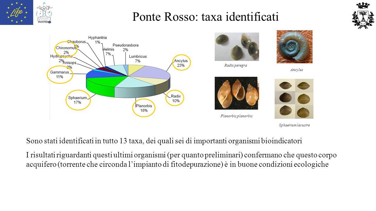 Ponte Rosso: taxa identificati Radix peregra Ancylus Planorbis planorbis Sphaerium lacustre Sono stati identificati in tutto 13 taxa, dei quali sei di