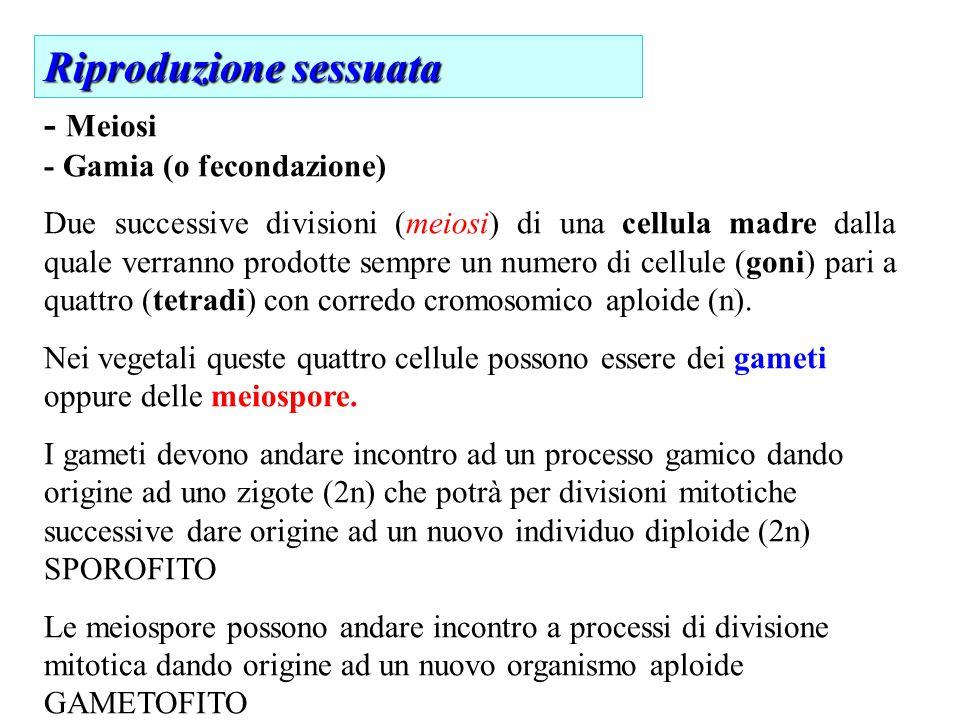 - Meiosi - Gamia (o fecondazione) Due successive divisioni (meiosi) di una cellula madre dalla quale verranno prodotte sempre un numero di cellule (goni) pari a quattro (tetradi) con corredo cromosomico aploide (n).