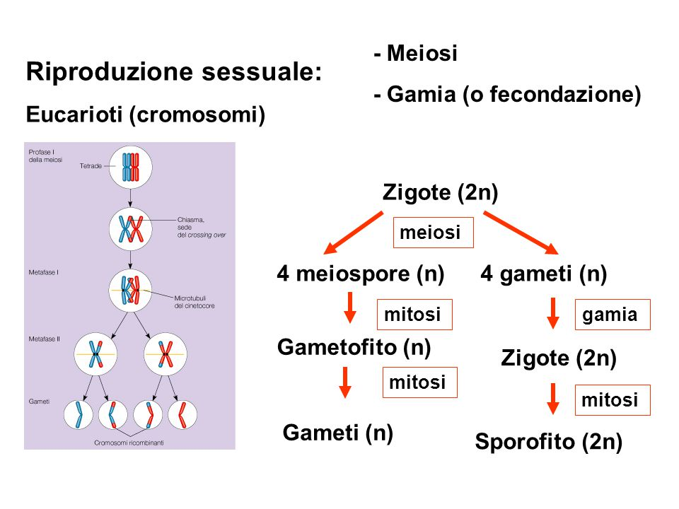 Riproduzione sessuale: Eucarioti (cromosomi) - Meiosi - Gamia (o fecondazione) Zigote (2n) 4 meiospore (n) 4 gameti (n) Gametofito (n) Gameti (n) mito