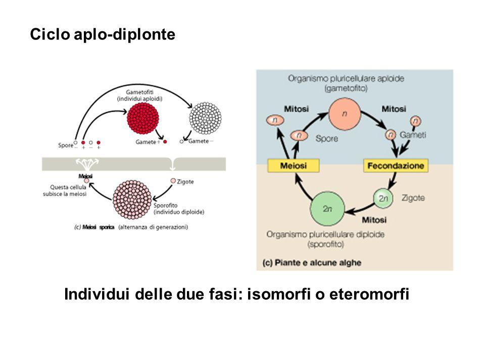 Individui delle due fasi: isomorfi o eteromorfi Ciclo aplo-diplonte