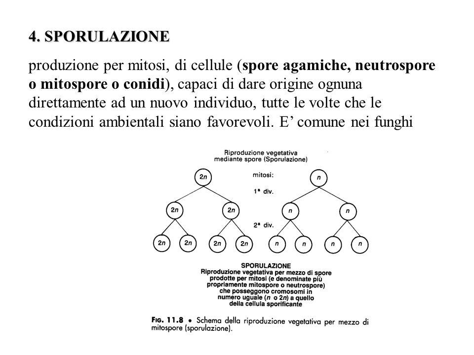 4. SPORULAZIONE produzione per mitosi, di cellule (spore agamiche, neutrospore o mitospore o conidi), capaci di dare origine ognuna direttamente ad un