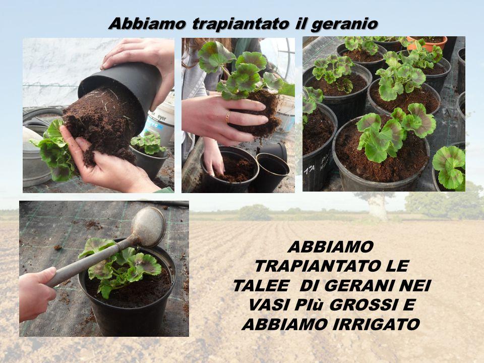Siamo poi tornati in serra a controllare la crescita Le nostre piantine sono cresciute ;molto, sono molto più alte e con molte foglie.