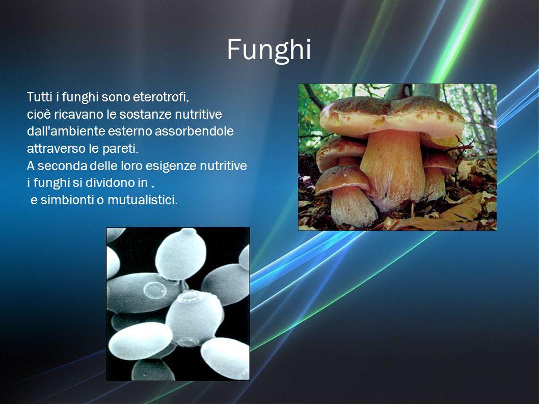 Funghi Tutti i funghi sono eterotrofi, cioè ricavano le sostanze nutritive dall ambiente esterno assorbendole attraverso le pareti.