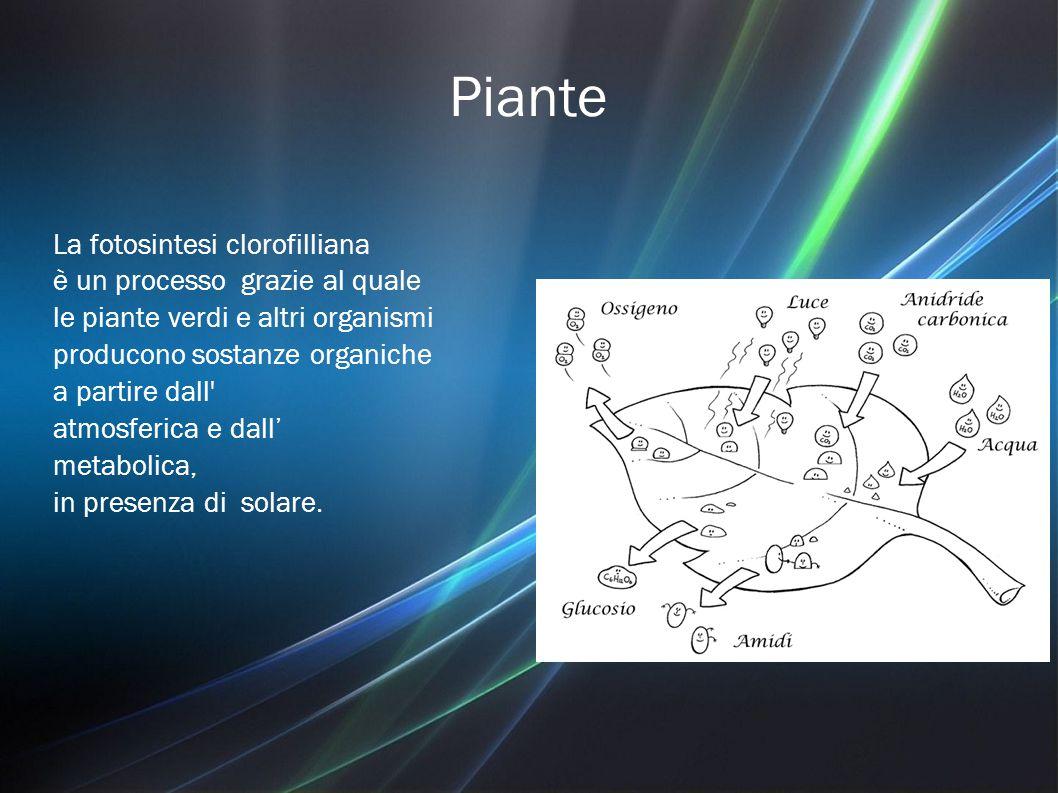Piante La fotosintesi clorofilliana è un processo grazie al quale le piante verdi e altri organismi producono sostanze organiche a partire dall atmosferica e dall' metabolica, in presenza di solare.