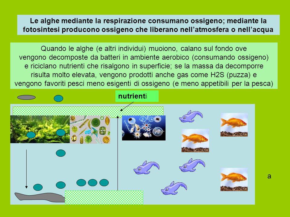 Le alghe mediante la respirazione consumano ossigeno; mediante la fotosintesi producono ossigeno che liberano nell'atmosfera o nell'acqua Quando le al