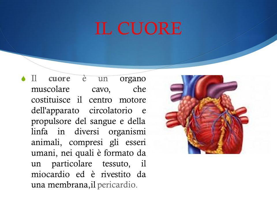 IL CUORE  Il cuore è un organo muscolare cavo, che costituisce il centro motore dell'apparato circolatorio e propulsore del sangue e della linfa in d