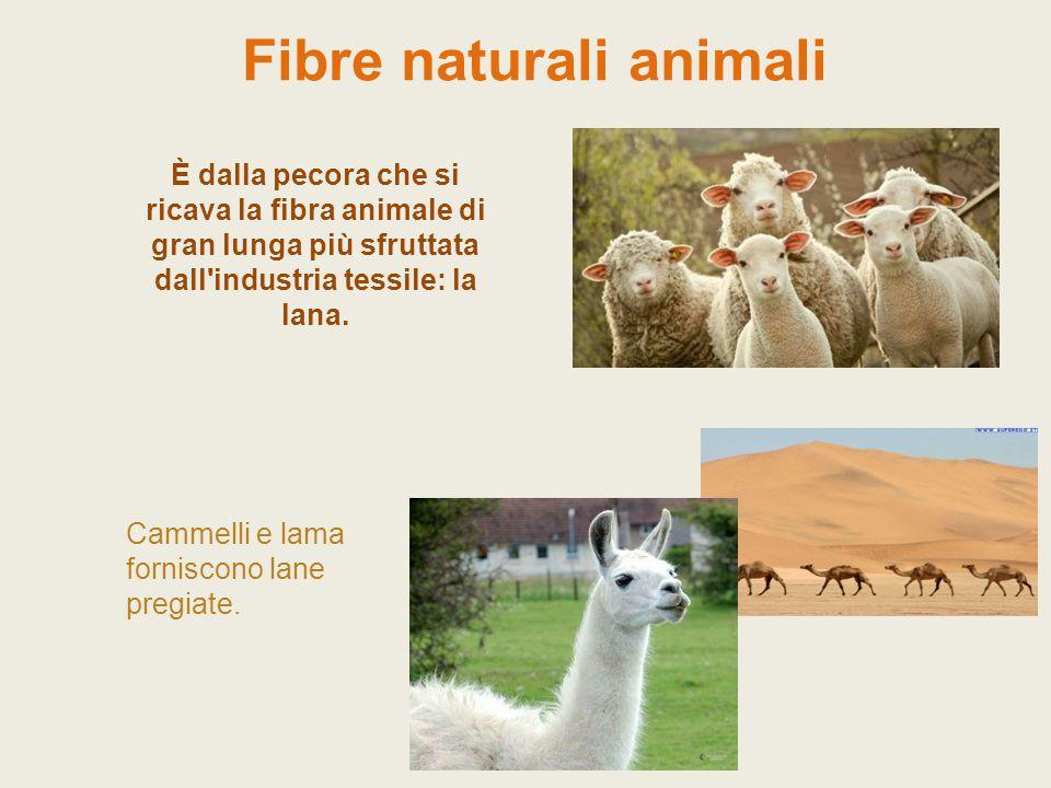 Fibre naturali animali È dalla pecora che si ricava la fibra animale di gran lunga più sfruttata dall'industria tessile: la lana. Cammelli e lama forn